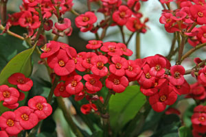 Bright red flowers adorn a crown of thorns
