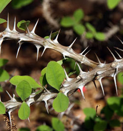 Crown of thorns is aptly named for the large spines on the branches and stems
