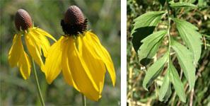 Flowers (L) and leaves (R) of Ratibida pinnata.