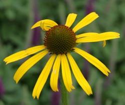 Flower of Echinacea paradoxa.