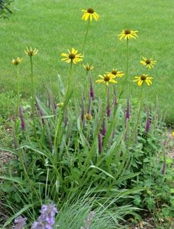 Yellow coneflower in a garden.