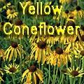 Yellow Coneflower, Echinacea paradoxa Title Image
