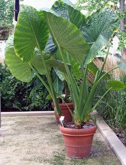 Alocasia calidora showing upright leaves on long petioles.
