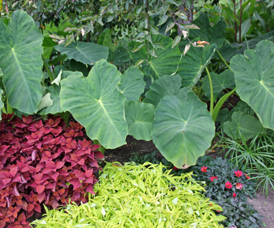 Elephant ears offer bold foliage in beds and borders.