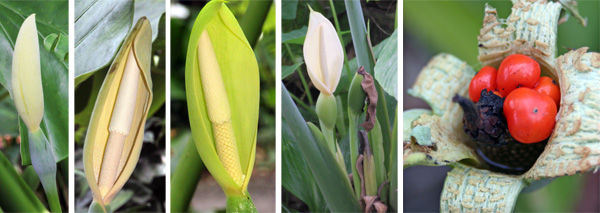 The flowers of Alocasia are a typical aroid type (L) with a white to green spathe surrounding a white or cream spadix (LC, C and RC), and may be followed by globular berries containing several seeds (R).