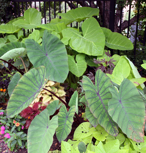 Elephant ears is the common name for a group of tropical perennial plants grown for their large, heart-shaped leaves.