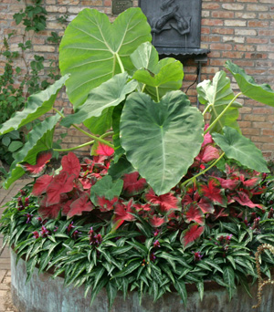 Elephant ears combine well with caladiums.
