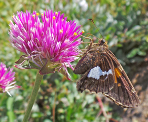 Silver-spotted skippers prefer blue, red, pink, and purple flowers.