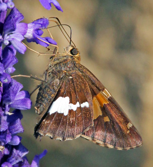 Adult silver-spotted skipper.