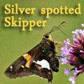 Silver spotted skipper, Epargyreus clarus Title Image