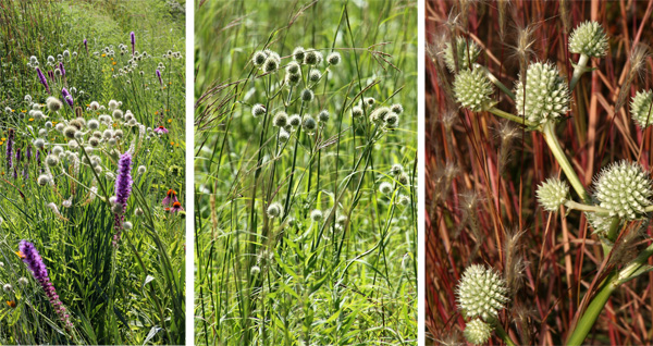 Rattlesnake master combines well with other prairie plants, such as Liatris (L) and little bluestem (R).