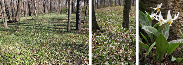 Erythronium albidum carpets a southern Wisconsin woodland (L). The white blossoms (C and R) appear in spring.