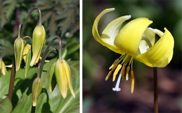 The pendent flower are held well above the foliage (L) and the reflexed petals (R) curl back above the yellow stamens (R).