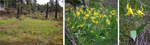 The western species Erythronium grandiflorum blooming in Idaho.