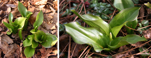 The glossy, slightly mottled leaves of Erythronium Pagpoda emerge in early spring.