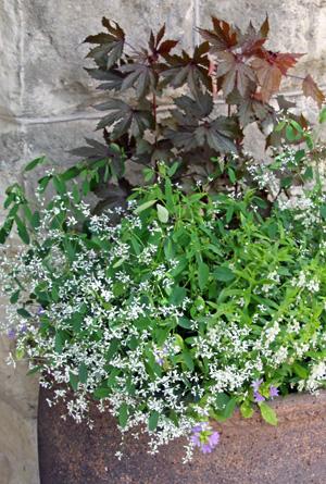 Euphorbia Diamond Frost Master Gardener Program