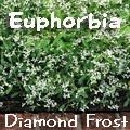 Euphorbia Diamond Frost® Title Image