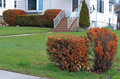 Winter burn of conifers occurs when the plants do not have enough water over the winter.