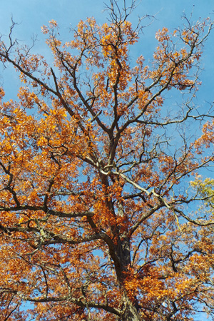 Oak trees should never be pruned during the growing season to prevent disease transmission.