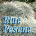 Blue Fescue, Festuca ovina glauca Title Image