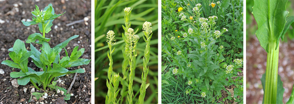 Erect flower stems are produced starting in the spring (L, LC and RC). The stems are ribbed and the clasping leaves have ear-like lobes that go around the stem (R).