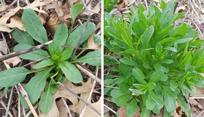 Field pennycress is frequently a winter annual that produces a rosette of leaves in the fall (L) that resumes growth in the spring (R).