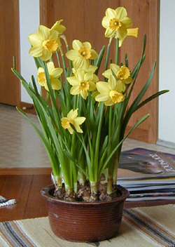 Tete-a-tete is a good variety of small daffodil for forcing.