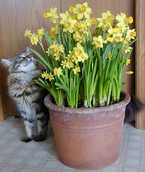 Forced bulbs are enjoyed by everyone in the middle of winter.