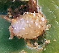 A third instar larva.