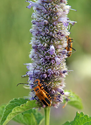 Goldenrod soldier beetles on anise hyssop
