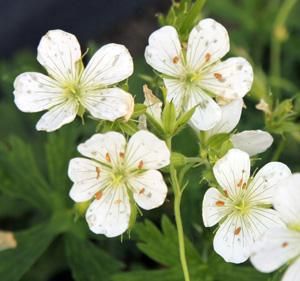 Flowers of G. maculatum Album.