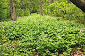 An extensive colony of wild geranium.