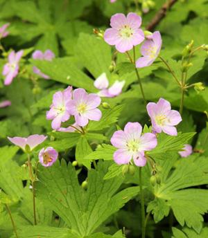 Wild geranium combines well with many shade-loving ephemerals and perennials.