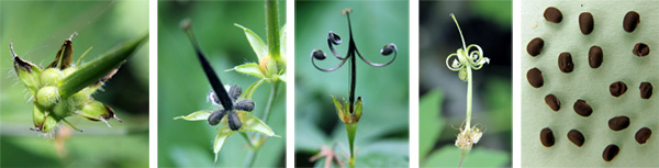 Seed capsules expanding (L), ripening (LC), with the carpels curled back after seed dehiscence (C and RC) and the small black seeds (R).