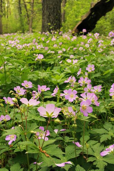 Wild geranium blooming in a Wisconsin woodland.