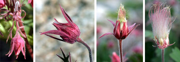 The nodding pink flowers turn upright after pollination, then the styles elongate to form plumes.