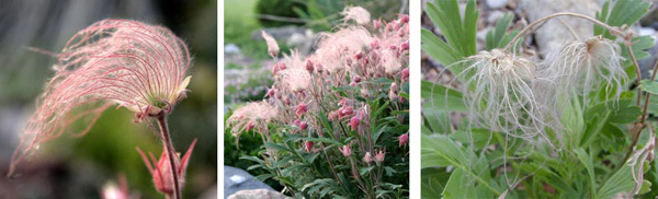 The wispy seedheads of prairie smoke are pink at first, but eventually dry out and fade to a golden color.