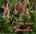 Prairie Smoke, Geum triflorum Title Image