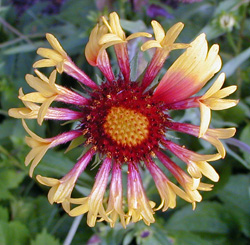 A blanket flower with tubular ray flowers surrounding the central disc flowers.