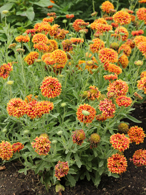 Grow blanket flower in sun in fast-draining soil.