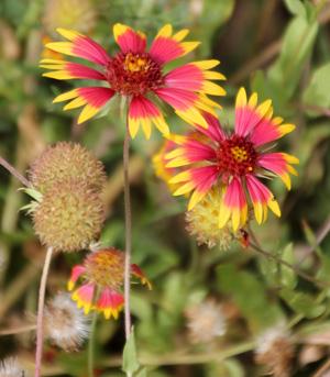 Blanket flower, Gaillardia spp. – Master Gardener Program