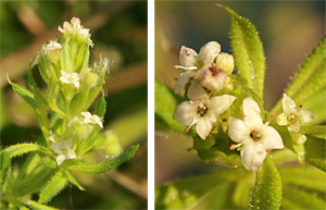 The tiny white or pale green flowers are born terminally or in leaf axils.