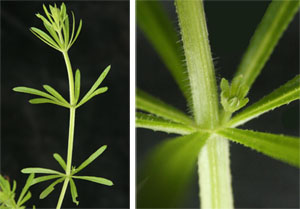 The leaves of catchweed bedstraw are arranged in whorls