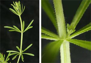 Catchweed Bedstraw Galium Aparine Master Gardener Program