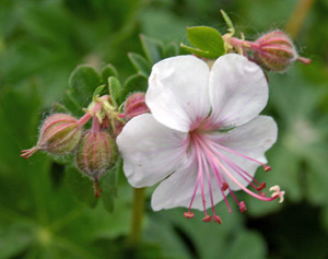 The dainty flowers are best apprectiated up close.