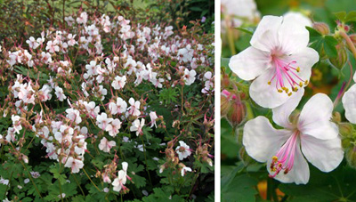 Clusters of delicate flowers (L) are produced, with individual pink-tinged white blossoms with pink stamens (R).