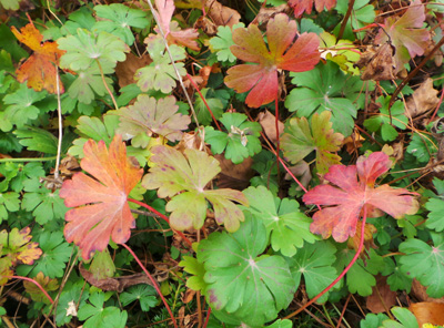 The rounded, divided leaves are a glossy green, but may turn red to coppery orange in fall.