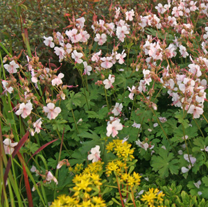 This low-growing cultivar of geranium is good as a ground cover or on the edge of the border.
