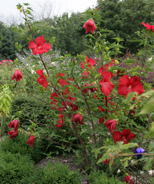 Hibiscus Lord Baltimore Master Gardener Program