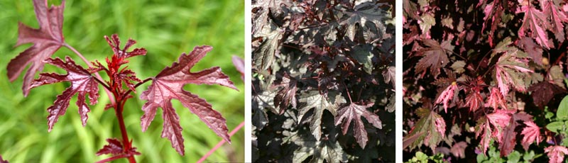 The palmate leaves of H. acetosella resemble a Japanese maple leaf, and come in various dark shades.